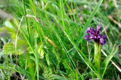 Orhidee sălbatică